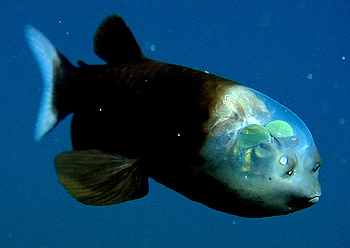 barrel-eye-fish